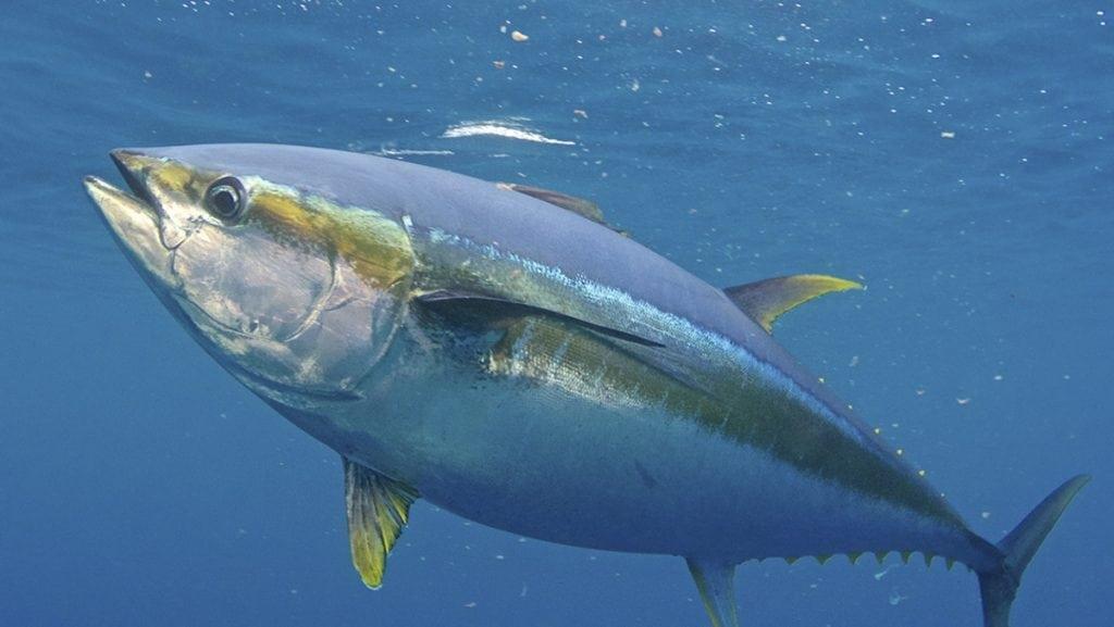 yellowfin tuna are waiting off the coast of north carolina