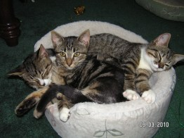Shelby, Sable, and Isabelle all stuffed into one cat bed (6 months old here)