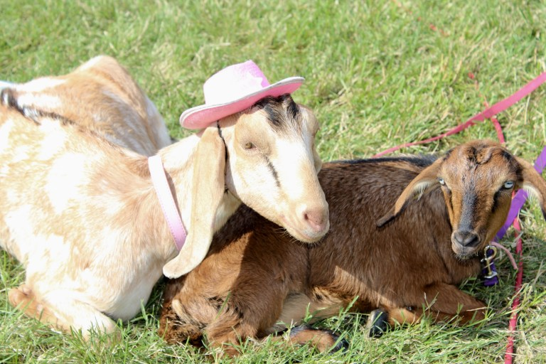 goats at victory cup nashville