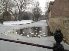 Bruges Ducks