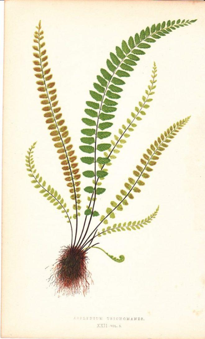 botanical1