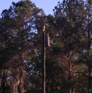 Hawk sitting on a post at Santos Campground