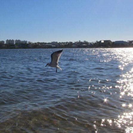 Seagull at Big Lagoon State Park