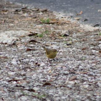 Here's another one of the Little Yellow Birds at Santos Campground