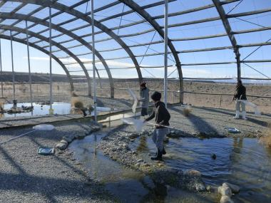 Twizel captive breeding centre, hand netting and processing juveniles before being taken to release site