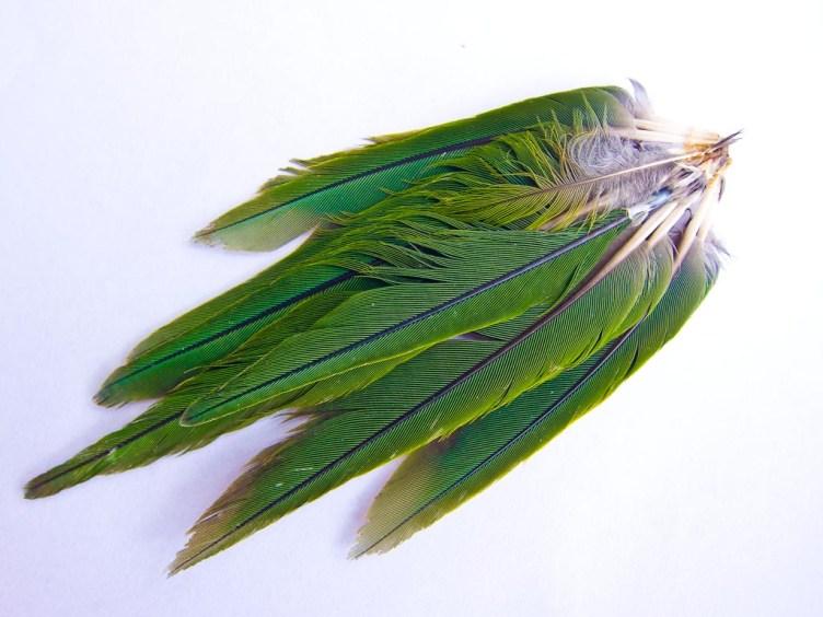 Kakariki feathers
