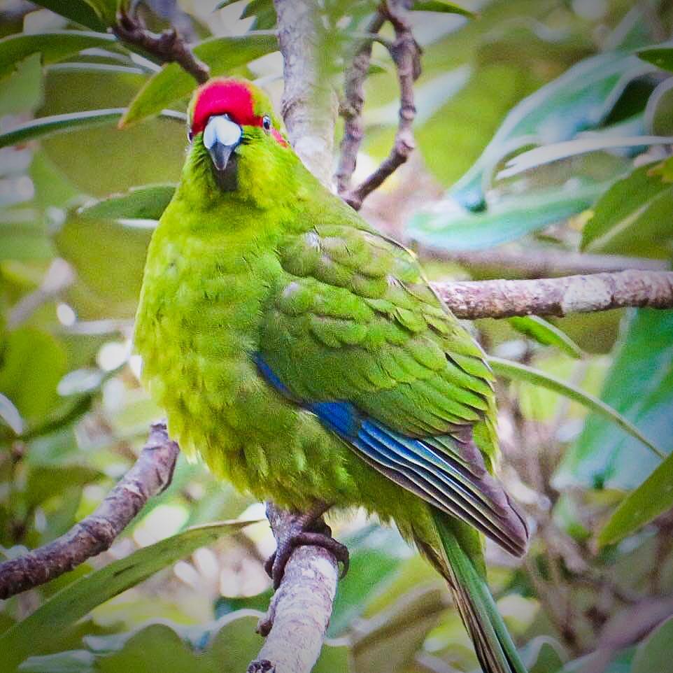 Red Crown NZ parakeet