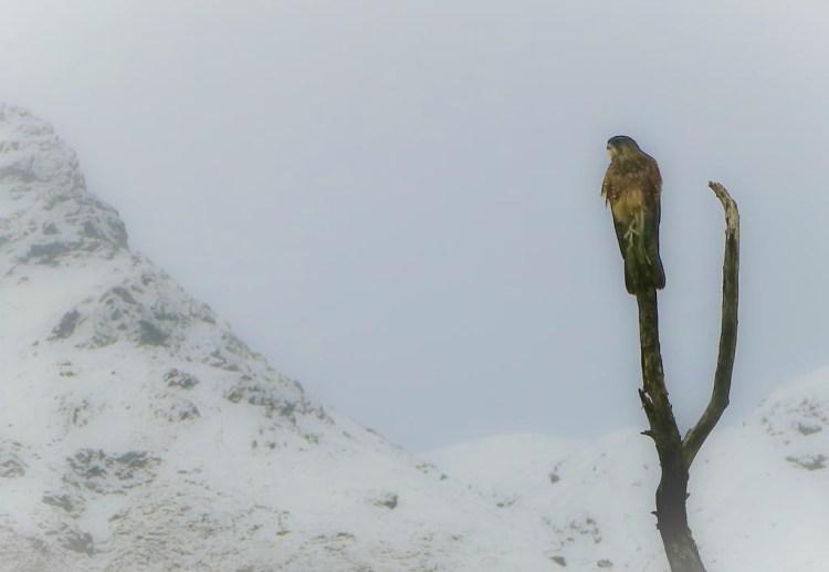 NZ falcon against snow, Mt Aspiring National Park