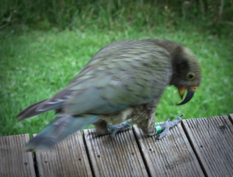 NZ kea being banded