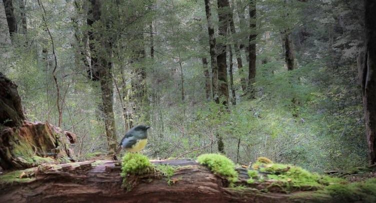 South Island robin in red beech forest