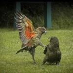 Kea kick boxing in Mt Aspiring National Park