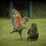 Kea kick boxing in Mt Aspiring National Park