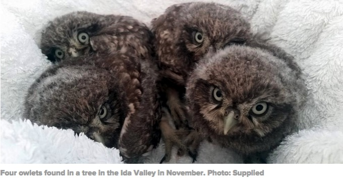 'Real community effort' an owling success | Otago Daily Times Online News