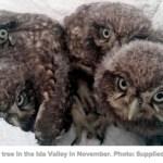 Little Owls, Ida Valley