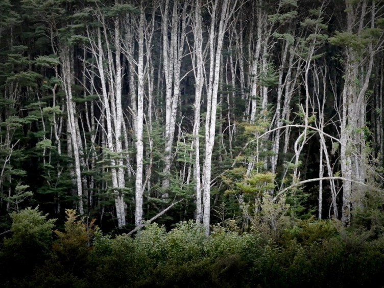 Silver Beech forest edge, Fiordland