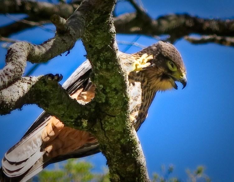 NZ falcon / kārearea
