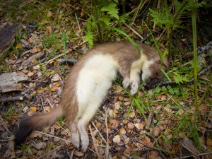 Dead stoat poisoned by 1080