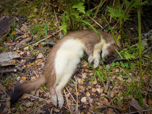 Dead stoat poisoned by 1080