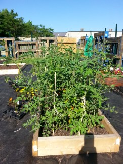 tomatoes are growing