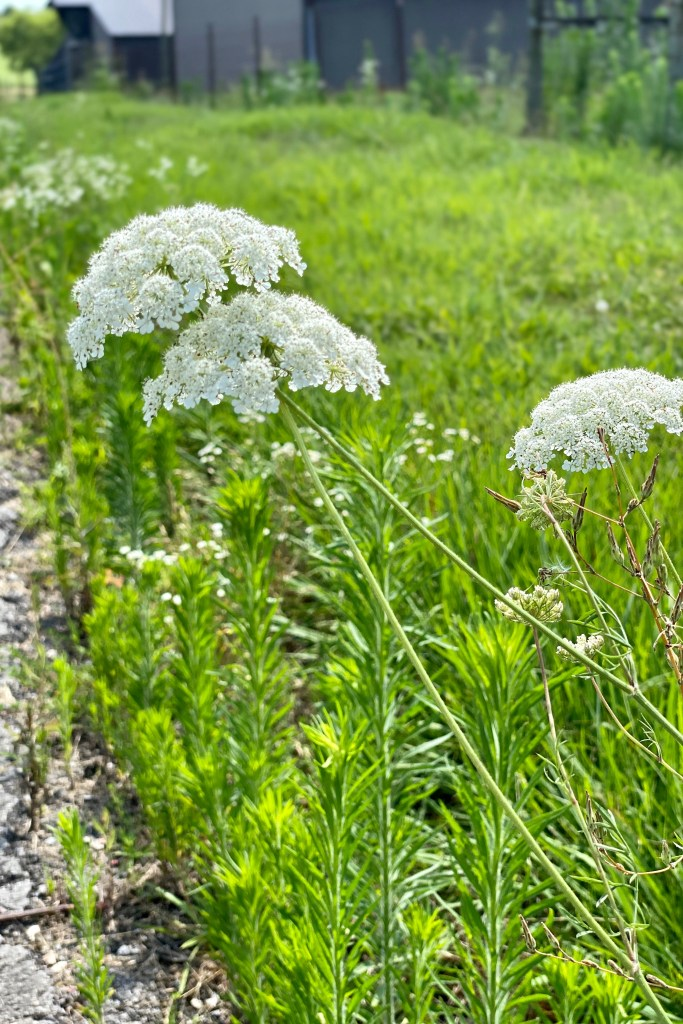 Queen Ann's Lace in the Field