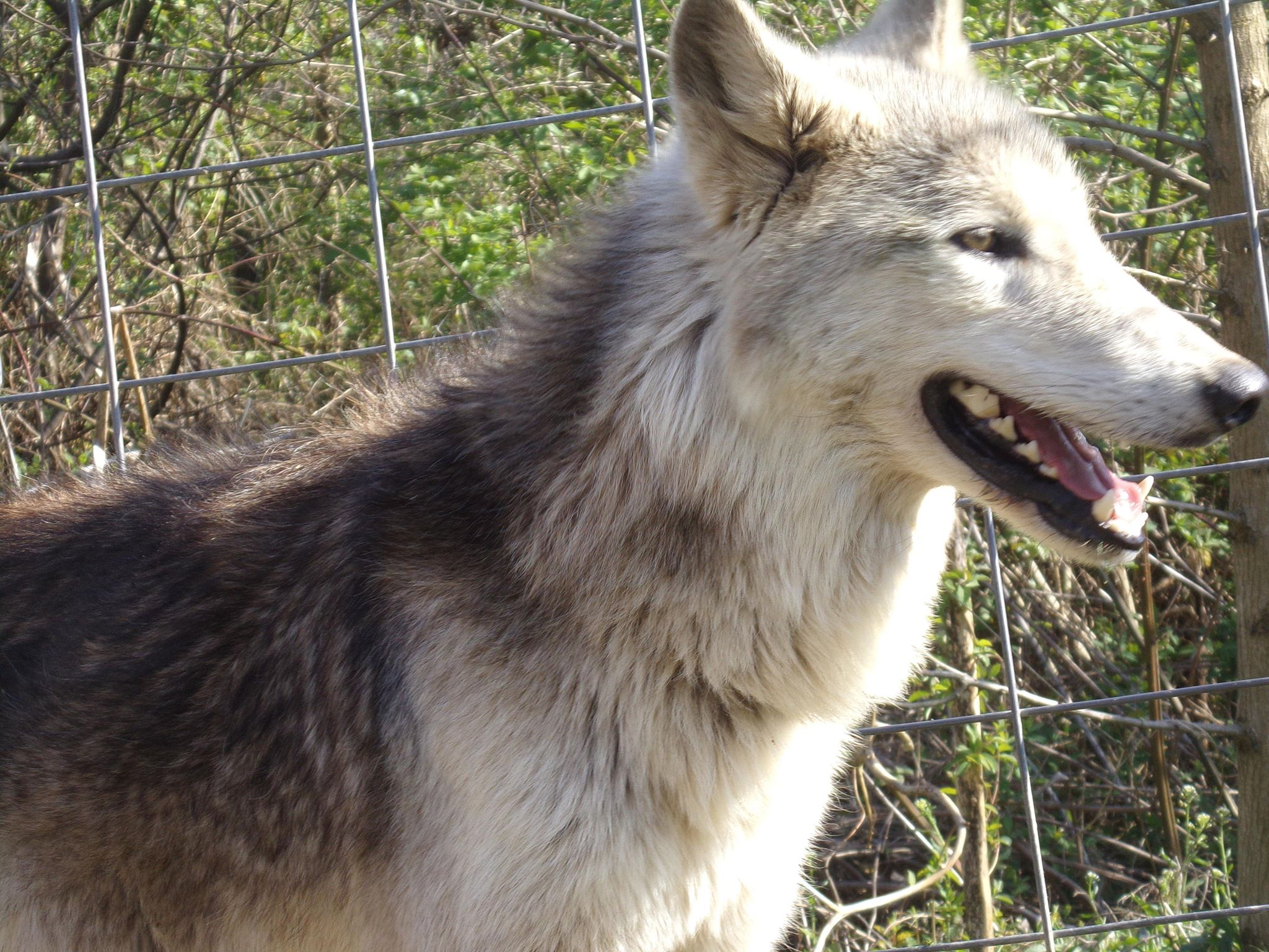 Forever Home | Southern Ohio Wolf Sanctuary, Inc  | Wolfdogs