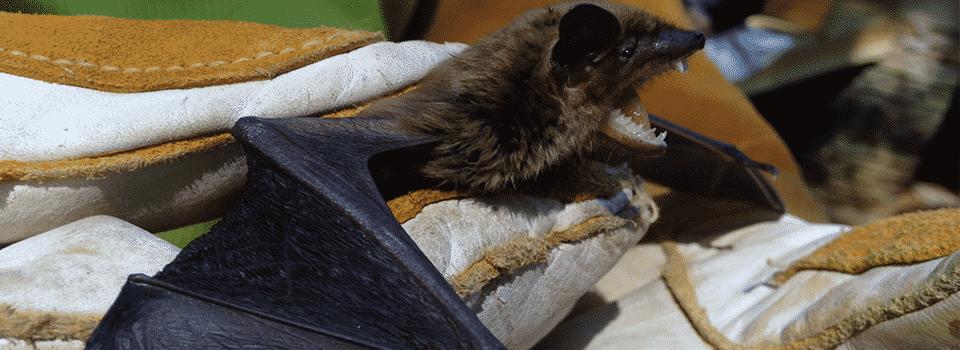 Bat Control - Bat Removal header