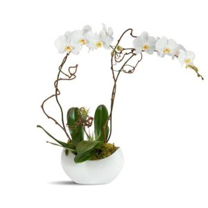alabaster_orchids__white