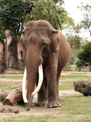 AfricanElephant_TH0886