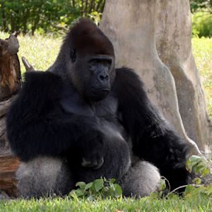 miamizoo-gorilla_THmg5030