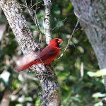 Cardinal-TreeTops_TH3645