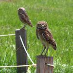 Burrowing Owls at Central Broward Regional Park