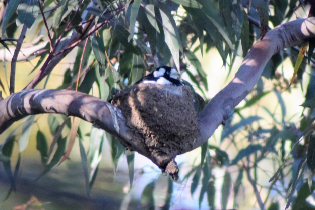 Female Peewee, the Magpie-lark, November 2018 fauna survey Photo: R Pattingale 2018