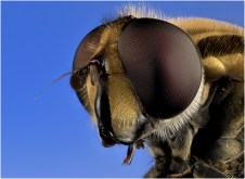 Hoverfly by Jim Berkshire