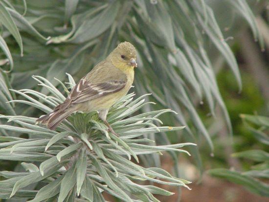 Yellow Bird by SouthOCBeaches.com