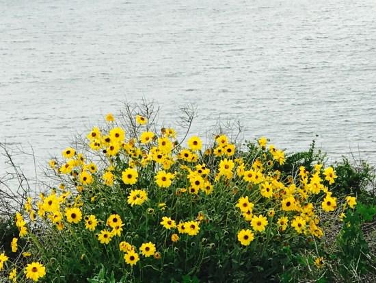 California Coastal Wildflowers by SouthOCBeaches.com