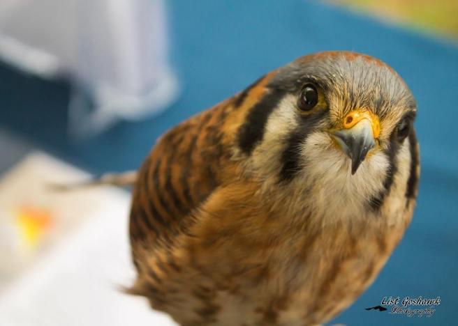 American Kestrel Falcon Courtesy of Facebook.com:ocbpc