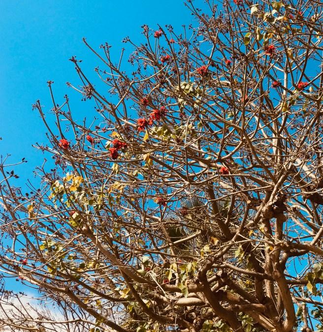California Trees Courtesy of SouthOCBeaches.com