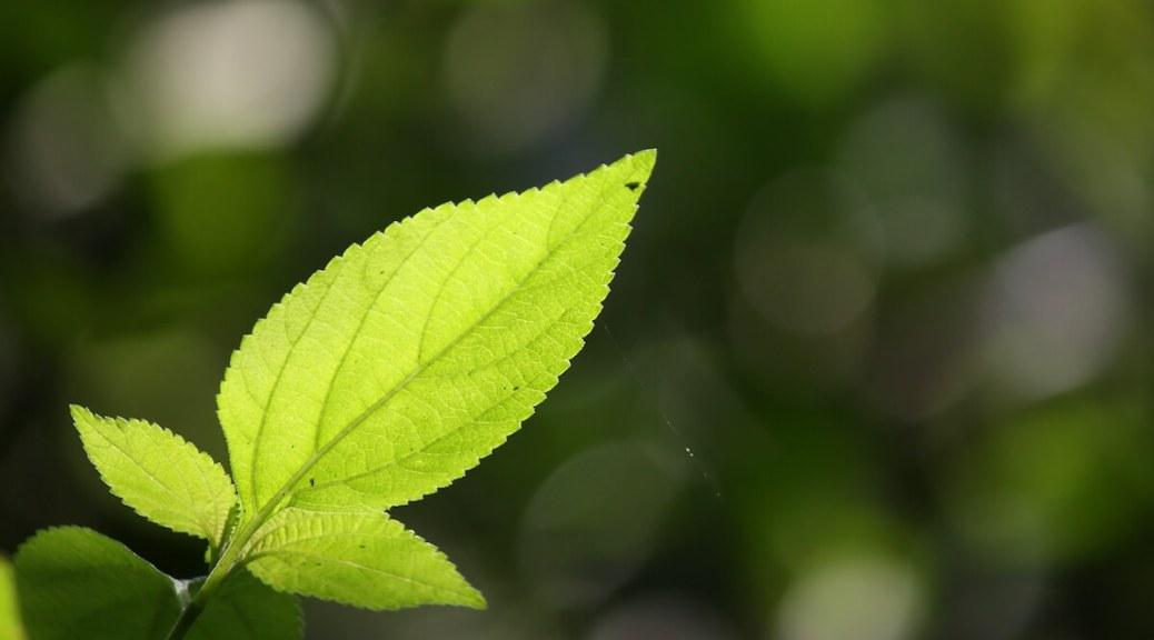 Single green leaf - photo by Kiran Kumar.