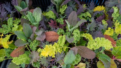 Fresh chard offered by a market vendor at the Columbia City Farmers Market.
