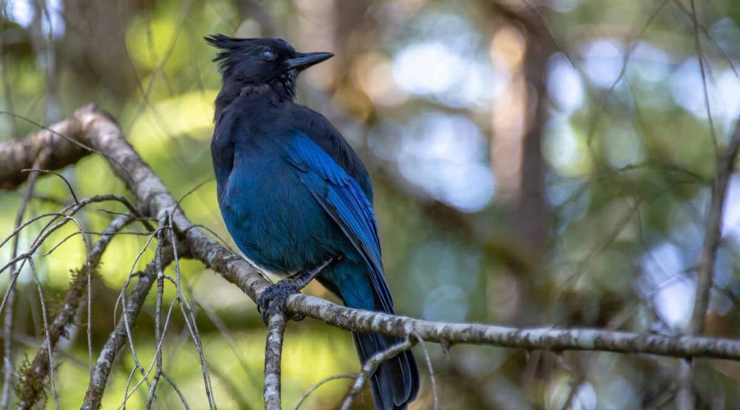 Photo depicting a Stellar's Jay (vibrant blue bird with dark head and head-feathers) sitting on a tree branch.