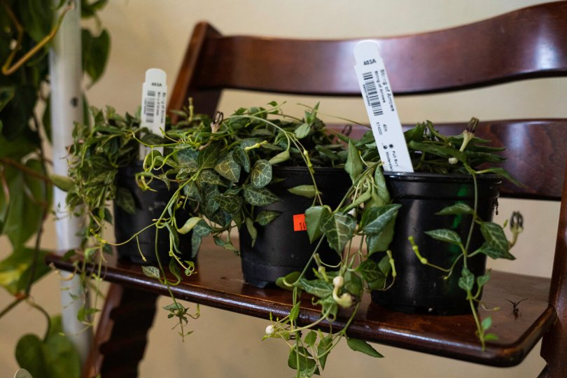 Photo depicting three indoor plants with hanging leaves propped on a wooden chair at The Liink Project