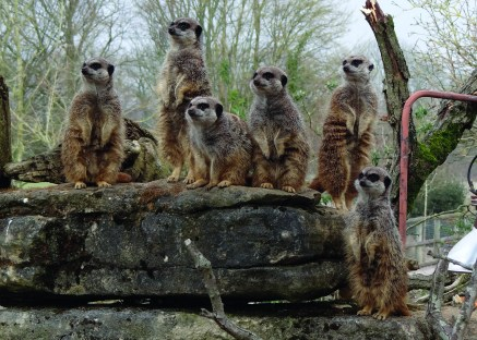 Marwell Zoo - Meerkats
