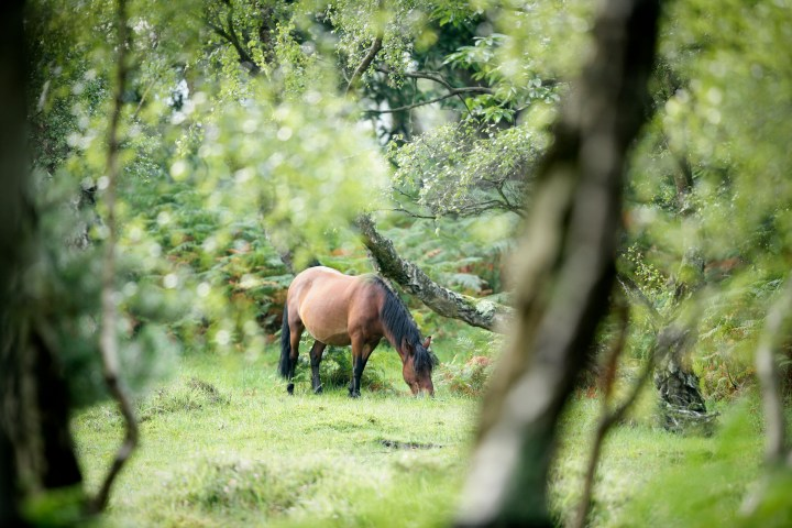 The famous New Forest ponies (credit www.thenewforest.co.uk) -  (12).jpg