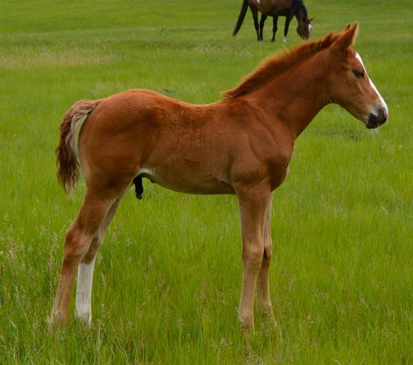 2016 Sorrel colt for sale APHA Paint foals