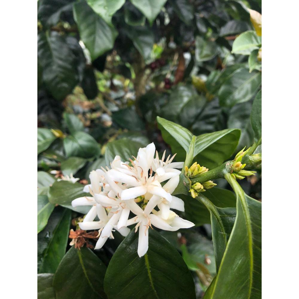 Flowering coffee shrubs