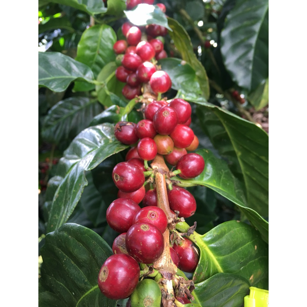 Photo of red ripe coffee cherries of the caturra variety
