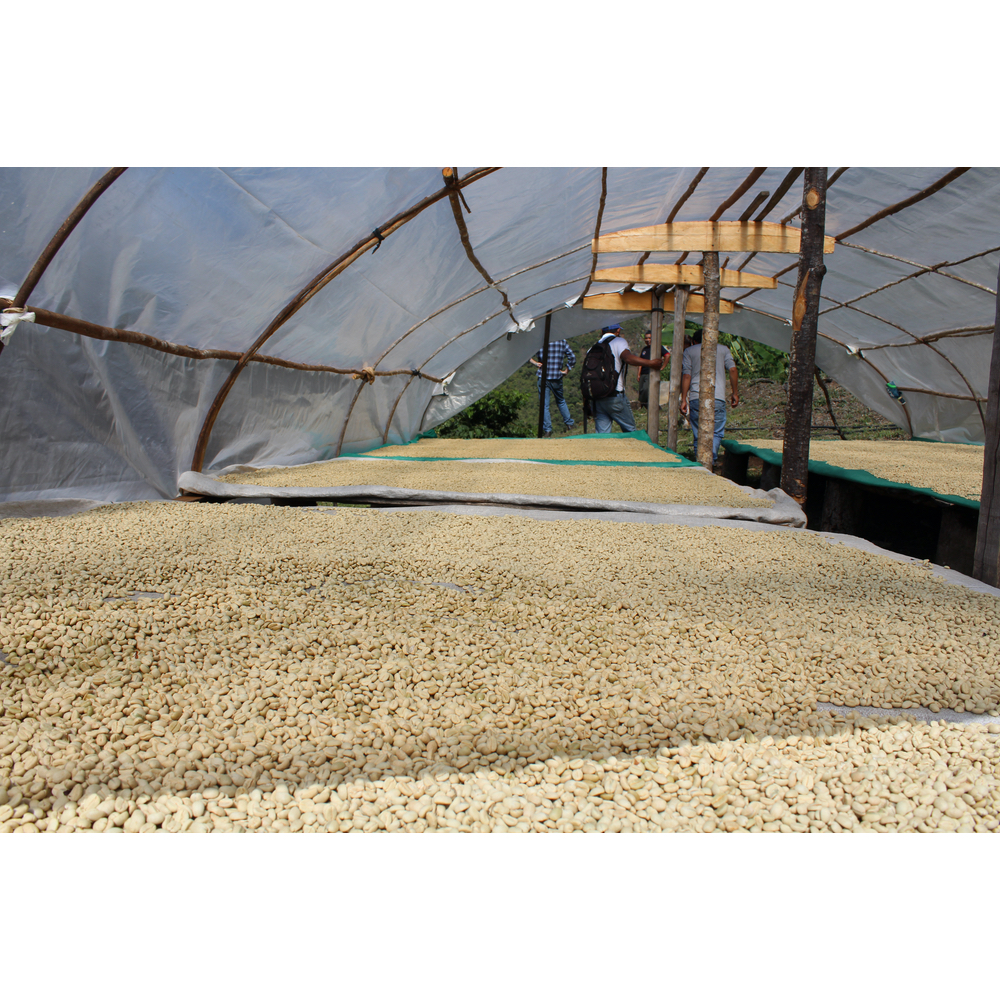 green coffee drying on covered raised beds in the yanatile valley in cusco peru