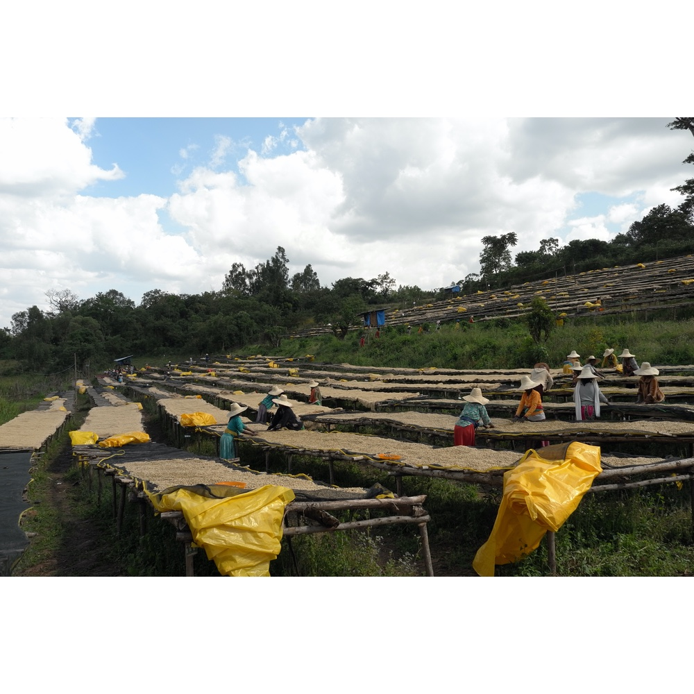 workers picking through dried coffee in nano genji coffee washing station on agaro ethiopia