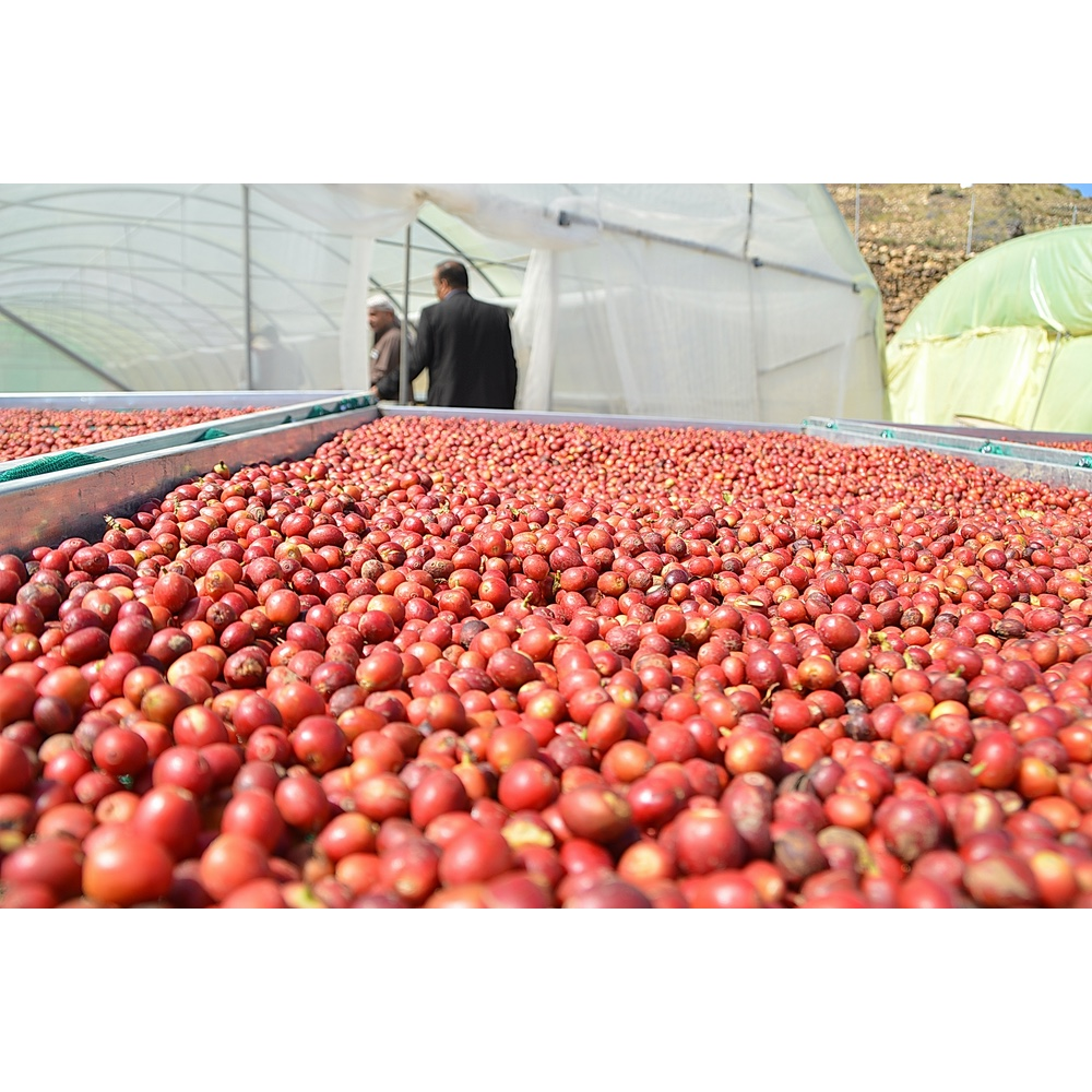 Coffee cherries on a drying bed in Khulani Yemen