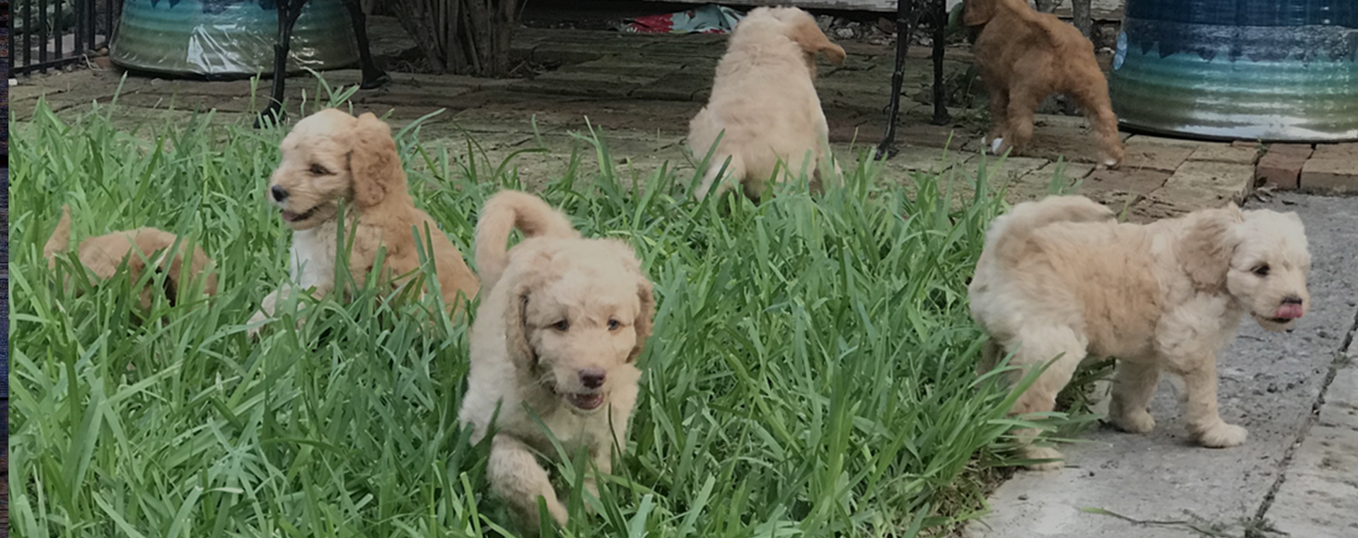 Labradoodles For Sale In Texas
